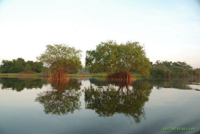 The mangroves on the river bank