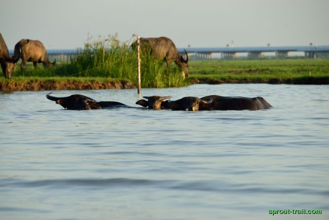 Water buffalo out for their morning dip